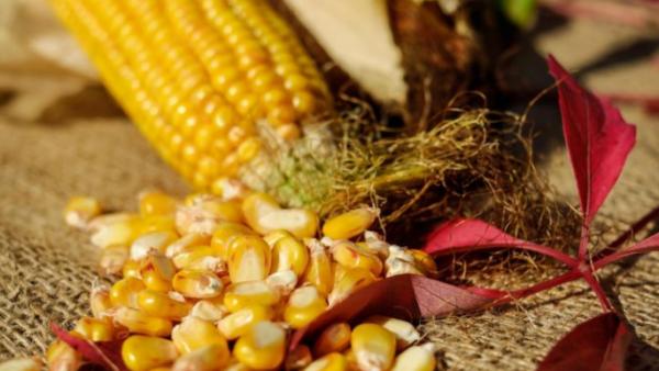 玉米籽粒检测,玉米籽粒品质检测系统